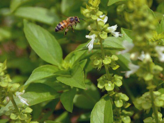 Citroenbasilicum – Ocimum × citriodorum