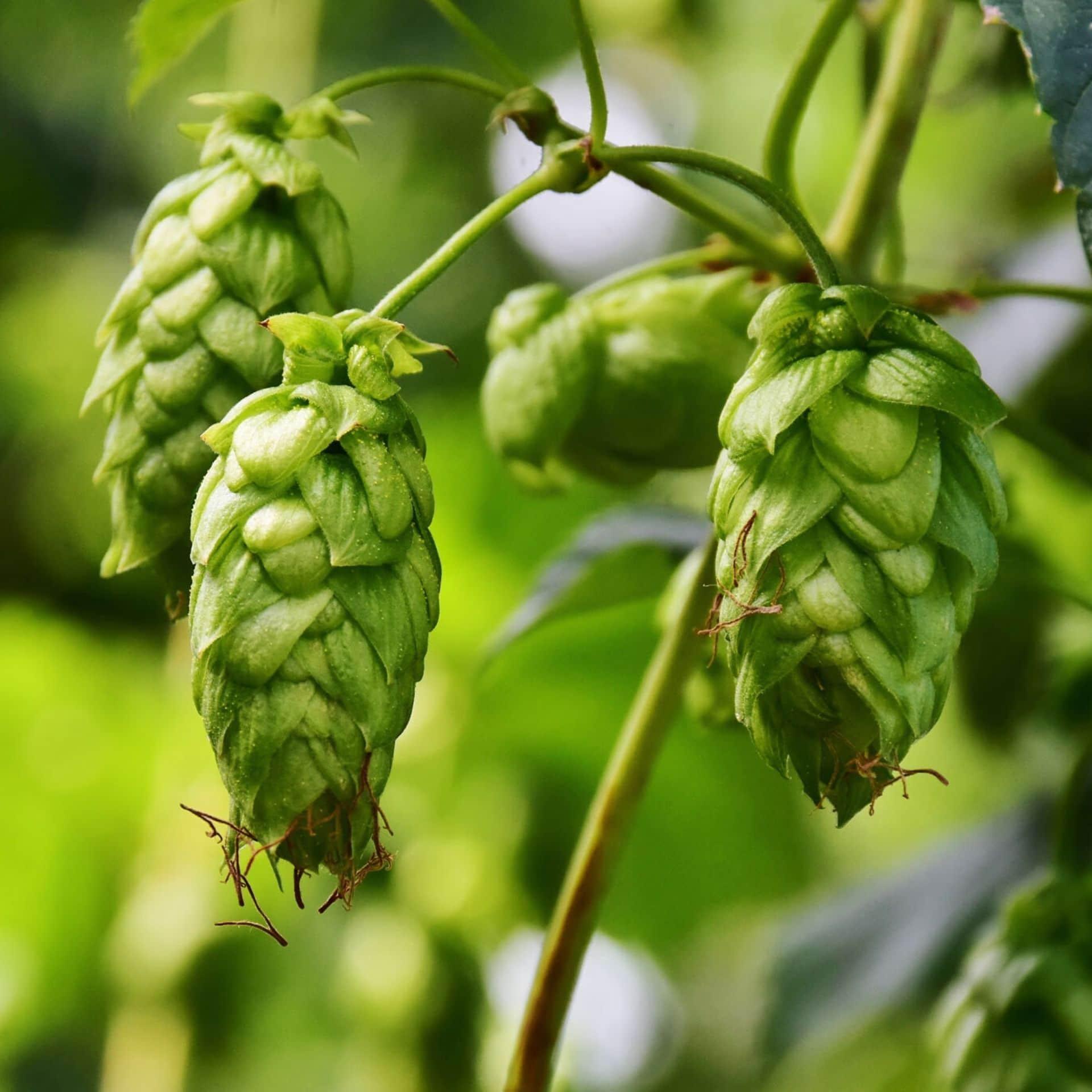 Hop – Humulus lupulus
