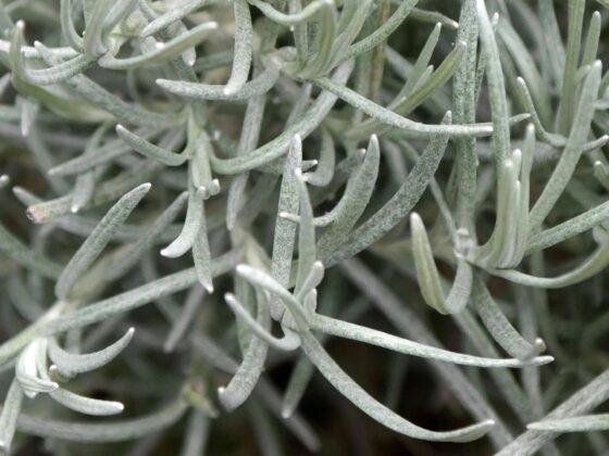 Kerrieplant – Helichrysum italicum