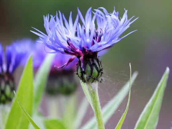 Korenbloem – Centaurea cyanus