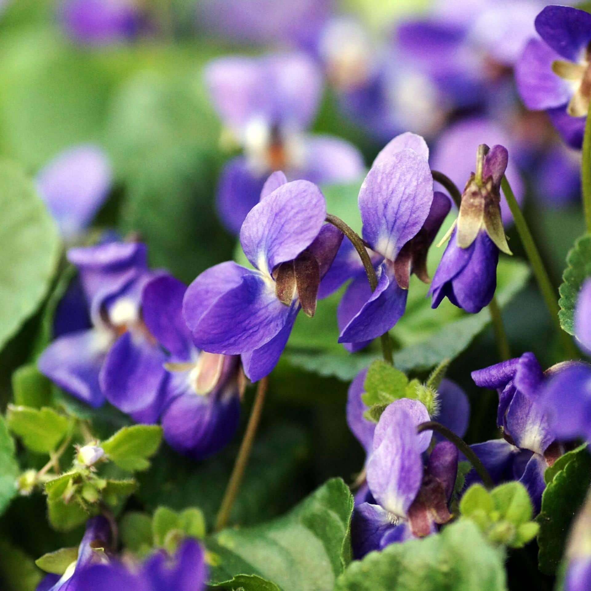Maarts viooltje – Viola odorata