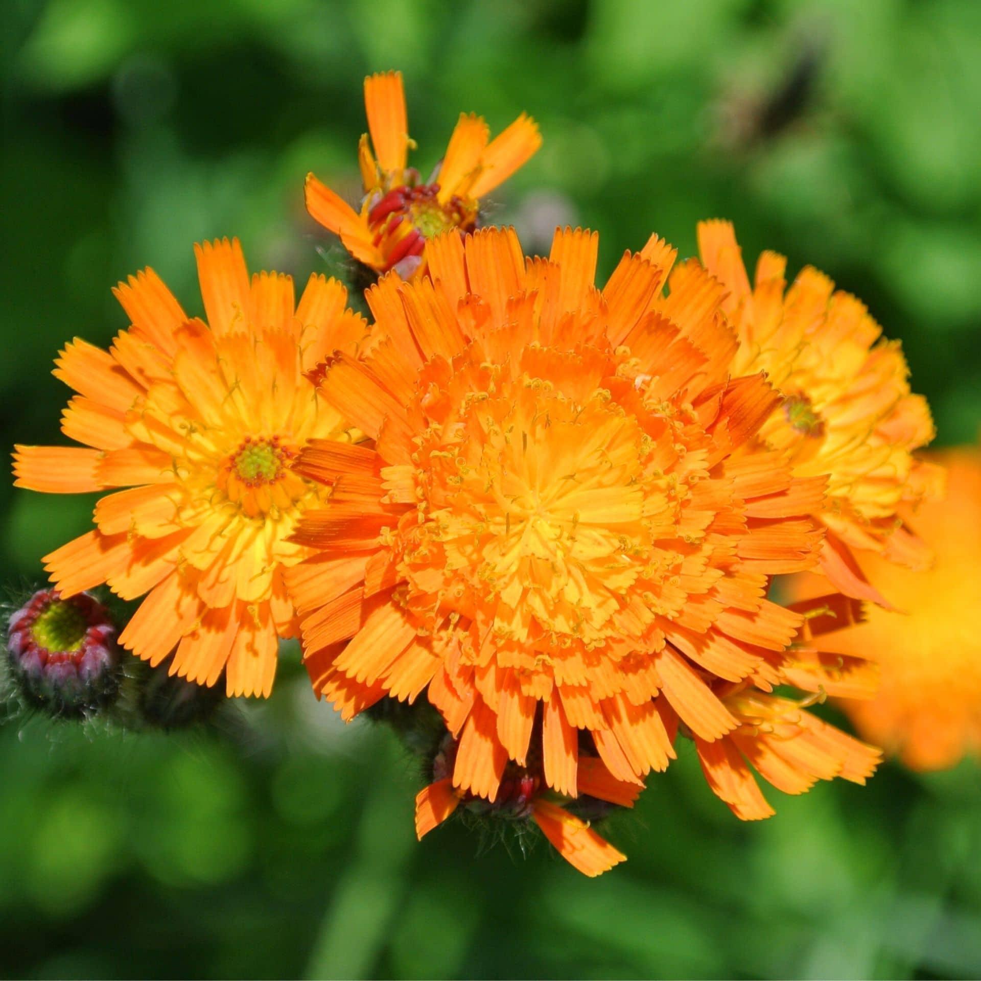 Oranje havikskruid – Hieracium aurantiacum