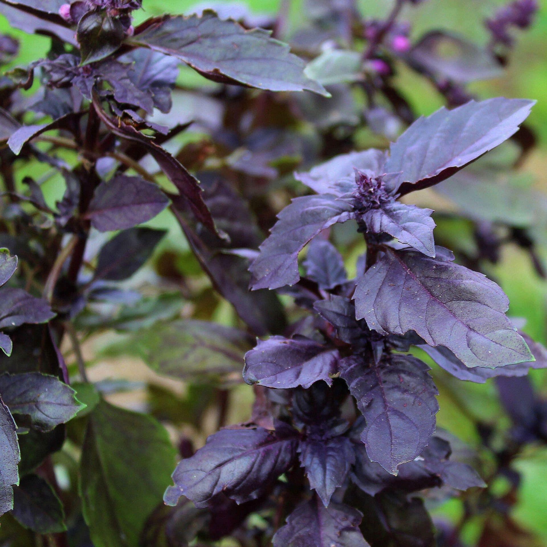 Rode basilicum – Ocimum basilicum 'Magic Blue'