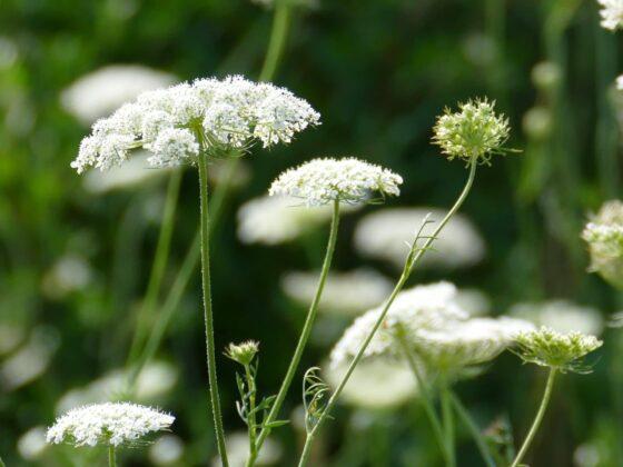 Roomse kervel – Myrrhis odorata