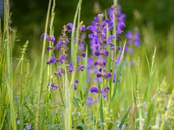 Veldsalie – Salvia pratensis