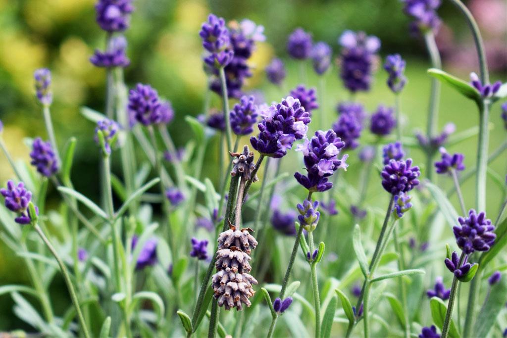 Echte lavendel – Lavandula angustifolia