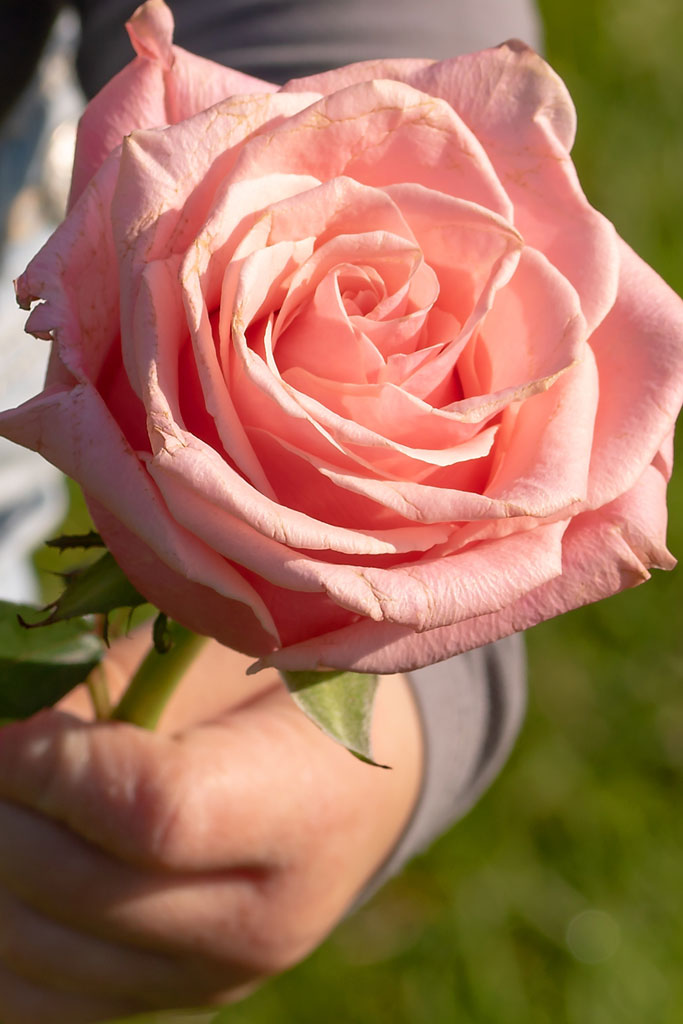Kind met roze roos