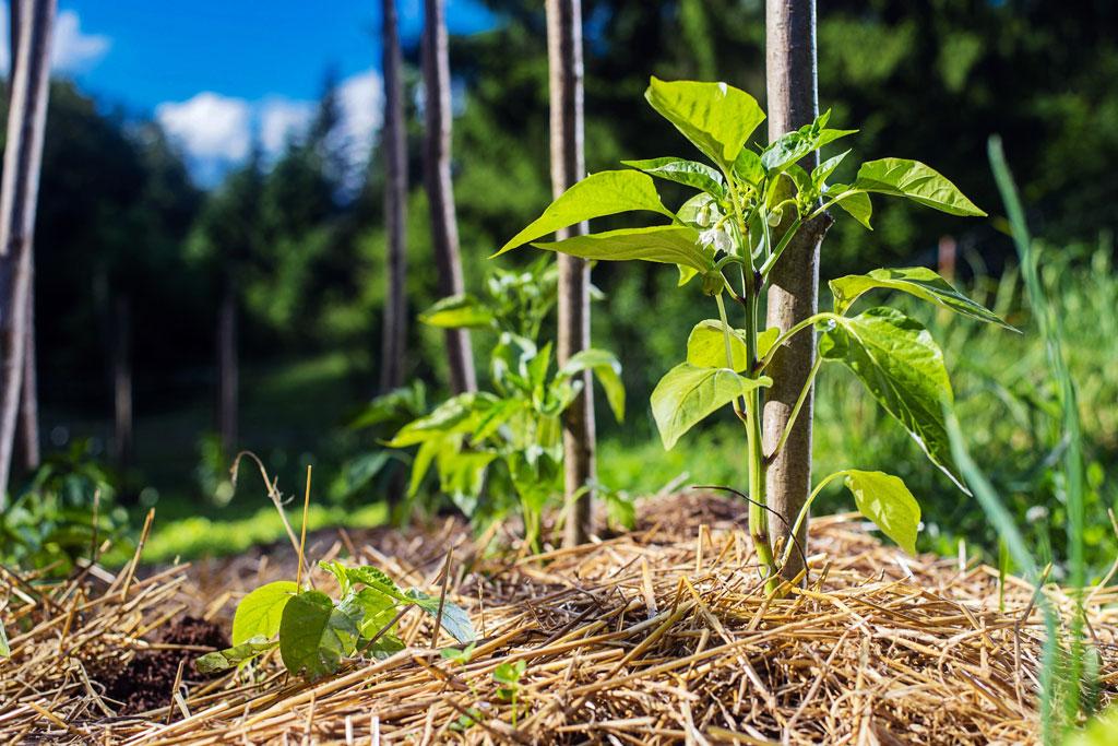 Mulchen: hou je grond gezond en vruchtbaar