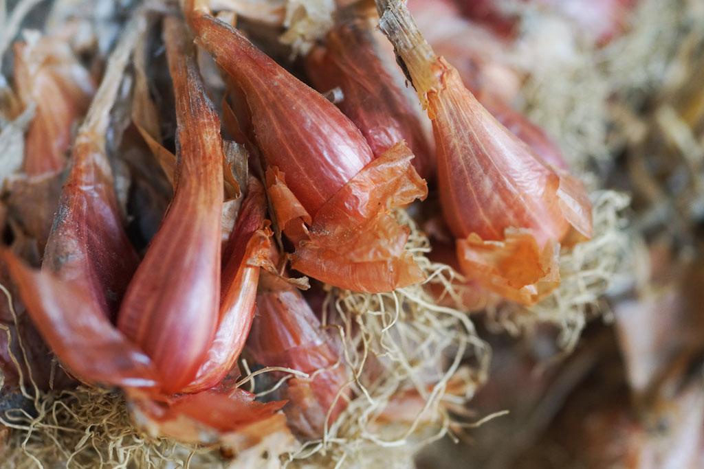 Sjalot – Allium ascalonicum 'Eslook'