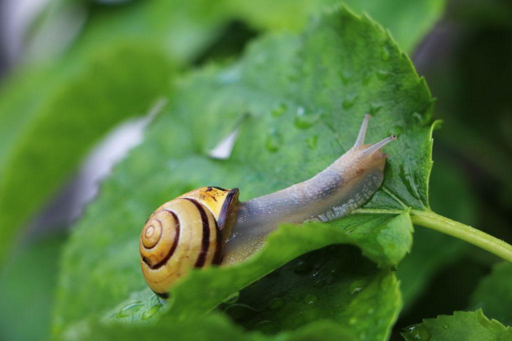 Slakken zijn het meest actief bij vochtig weer
